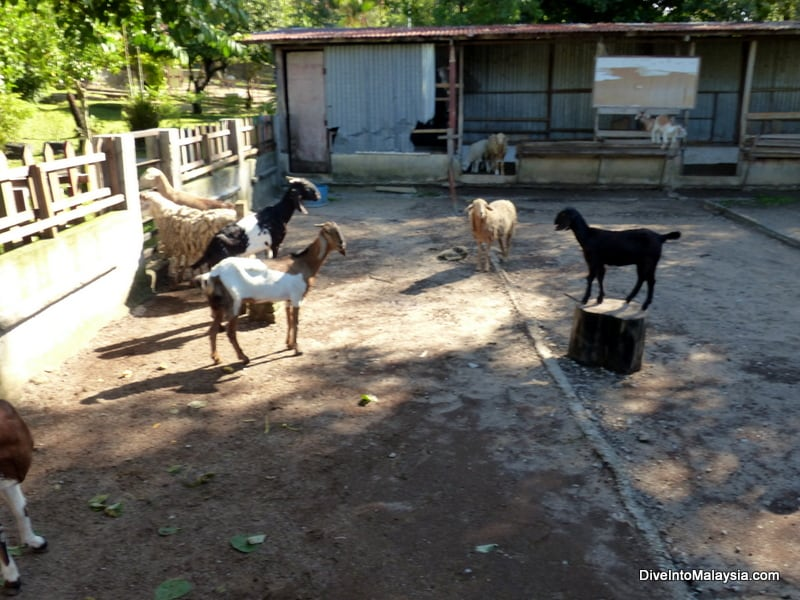 pd ostrich farm port dickson goats