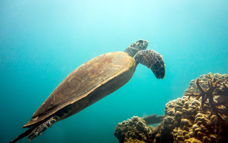 Sea Turtle near Salang beach, Tioman Island