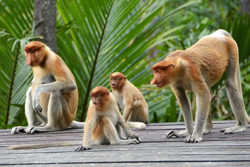 Proboscis Monkeys in Labuk Bay, Sandakan, Borneo