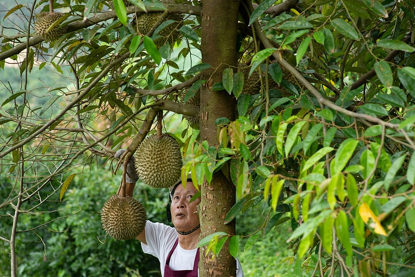 durian tree in orchard